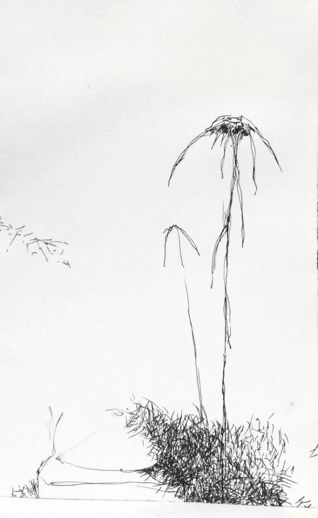 zinnia sketch